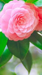 pink flower iphone 6 wallpaper