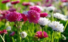 spring flowers wallpaper. spring screensavers background. «« flowers wallpaper e