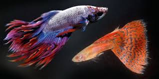 Betta Fish Chart Guppy Fish And Betta Fish Can You Keep Them In Same Aquarium