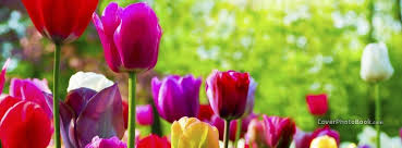 spring rainbow color tulips flowers free facebook timeline profile cover nature