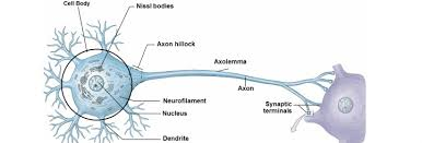 Neuron Structure And Classification Anatomy And Physiology