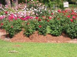 Small Picture Awesome Roses Gardening Ideas Landscaping Gardening Ideas