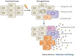 deleterious. figure 5: potential deleterious effects of senescent cells.damage to cells within tissues can