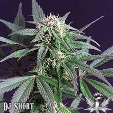 cannabis moonshine