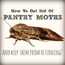 pantry moths extermination. Beautiful Pantry How To Get Rid Of Pantry Moth Infestation Safely  Natural Pest Solutions  1 Extermination Company Intended Moths K