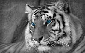 black tiger with blue eyes wallpaper. Brilliant Tiger Download Inside Black Tiger With Blue Eyes Wallpaper O