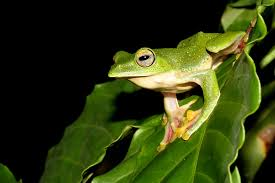 Image result for KERALA FROGS