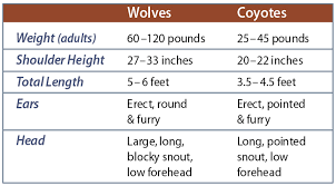 size and features of wolves pared to coyotes