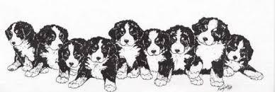 Berner Sennenhunde Bilder Berner Sennenhunde