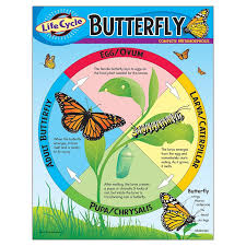 Bulletin Board Chart Educational Science Life Cycle Butterfly