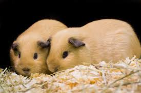 guinea pig bedding best choices for