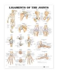 2004 Ligaments Of The Joints Anatomical Chart Pdf By