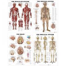 Laminated Chart Bundle Muscular Skeletal Brain And Nervous System