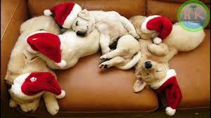 cute christmas puppies. Interesting Cute Adorable Cute Puppies Getting Ready For Christmas  Puppy Dressed Up  On I