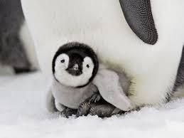 cute penguins. Plain Penguins Throughout Cute Penguins E