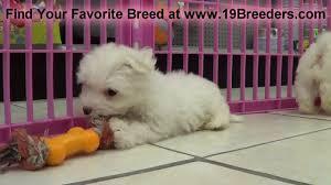 maltese puppies in winston m county north carolina nc 19breeders fayetteville