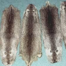 nutria mutation of otter