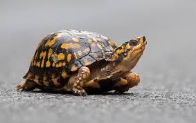 Maryland Biodiversity Project Eastern Box Turtle