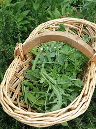 arugula leaves harvested in basket