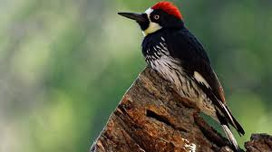 Why do woodpeckers like to hammer on <b>houses</b>? And what can I do ...