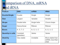 Similarities And Differences Between Mrna And Trna Chart Dna Replication Protein Synthesis Dna Replication Ppt