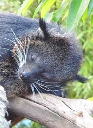 Small Picture Binturong The Animal Facts