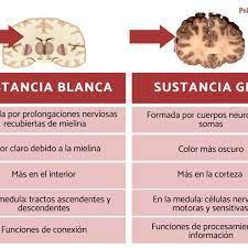 la sustancia gris y la blanca del cerebro