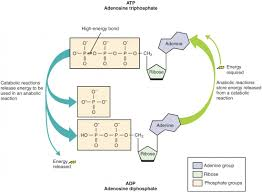 Atp Chart Overview Metabolic Reactions Anatomy And Physiology The