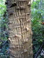 Factsheet - Livistona australis