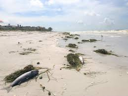 Fort Desoto Tide Chart Hurricane Michael Pushes Red Tide Back To Pinellas Beaches