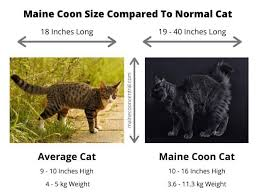 average weight of a maine cat