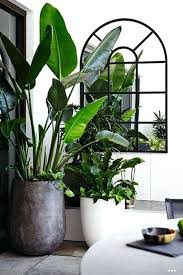 large indoor plant containers indoor plants large indoor plant containers uk