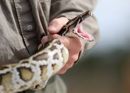 Image result for Long Burmese Python Was Captured In The Florida Everglades