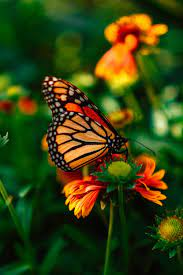 Butterfly Wallpapers: Free HD Download ...