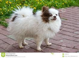 Wit Van De Het Rassenhond Van Huisdieren Het Leuke Pluizige