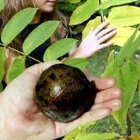 Sugarberry Celtis LaevigataFruit Trees That Grow In Nc