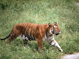 Asian tiger's scientific name