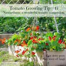 worst companion plants for tomatoes