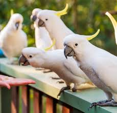 What the <b>Flock</b>: Understanding <b>Urban</b> Cockatoos - STEM @ Griffith