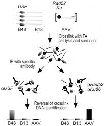 Flow Chart Of Chip Of Proteins Binding To Aav Dna Flow