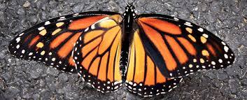 butterfly - STEPS Centre