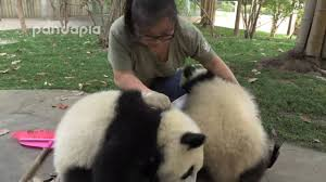 zookeeper cleaning. Interesting Zookeeper What Did Panda Do When Zookeeper Cleaning The Leaves For Zookeeper Cleaning O