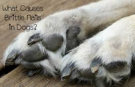 brittle nails in dogs a mon issue