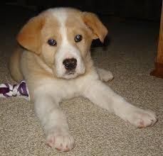 corgi lab mix puppies. Fine Mix Reba The Tan And White Corgidor Puppy Is Sitting On A Carpet There With Corgi Lab Mix Puppies H