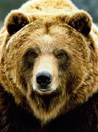grolar bear size rare pizzly or grolar bear shot and killed by hunter in canada