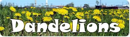 Dandelion Growth Chart The Biology Of Dandelions