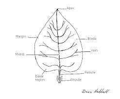 Venn Diagram Of Vascular And Nonvascular Plants Vascular Plant Diagram Shopnext Co