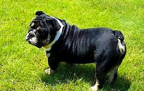 Olde English Bulldogge Puppy Weight Chart Understanding The Different Growth Stages Of An English
