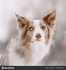 Red merle border collie dog on a winter ...