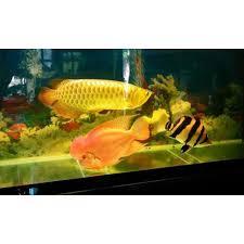 Đèn LED XML 2 hàng bóng Chuyên chơi cá rồng cho hồ bể cá rồng 60cm - 80cm -  100cm -1.2m, 1.5m, ánh sáng vàng/đỏ/trắng